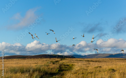 Fotografie, Tablou Black Grouse startled by a Walker, flying away on top of Tulloch Hill in Glen Prosen on a sunny evening in September