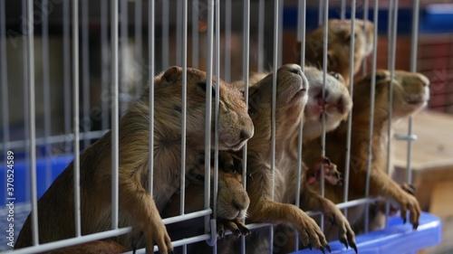 Fotografia Unhappy cute prairie dog cub suffering, cage on market