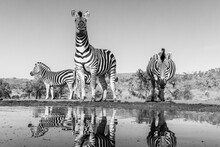 Three Burchell's Zebra Approaching Carefully A Waterhole, Photographed From A Low-angle At The Water's Edge.