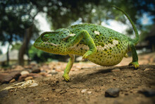 A Flap-necked Chameleon Walking, Photographed From The A Low Angle, Greater Kruger South Africa.
