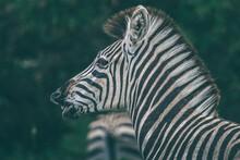 A Zebra Pulling A Grimace.