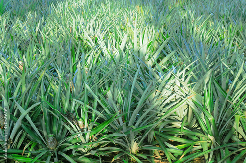 Pineapple growing on the plantation.
