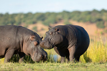 Two Hippo Out Of Water Grazing In Golden Afternoon Light In Chobe River Botswana
