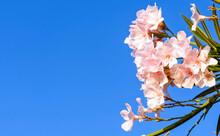 Pale Pink Oleander Flowers Und...