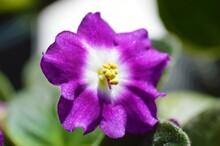 A Purple African Violet Flower.