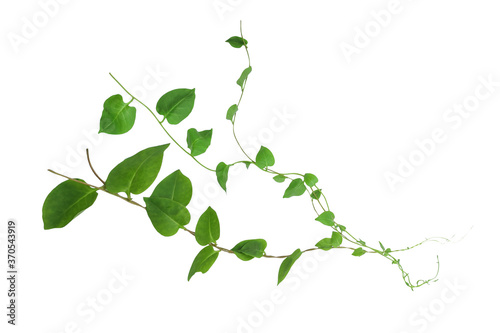 Valokuva Heart shaped green leaves climbing vines ivy of cowslip creeper (Telosma cordata) the creeper forest plant growing in wild isolated on white background, clipping path included