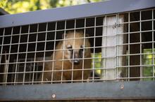 Nasenbär Blickt Traurig Hinter Gittern