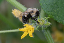 Bumble Bee On A Cucumber Blossom In Our Garden In Windsor NY