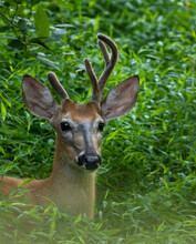 White Tailed Deer Looking At M...