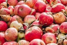 Apples In A Compost Pile