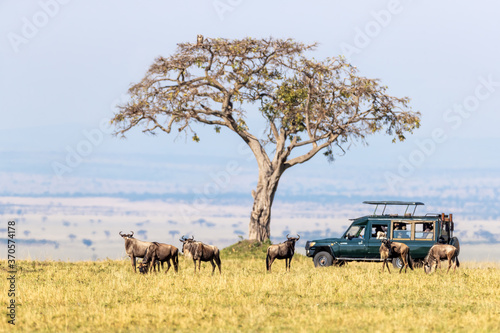 Canvastavla Unidentifiable tourists in a safari vehicle watch white-bearded wildebeest in the Masai Mara, Kenya, during the annual Great Migration