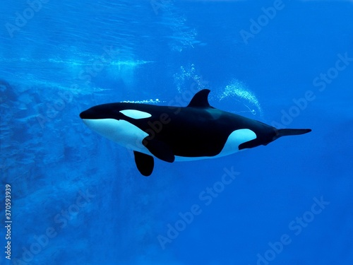 Killer Whale, orcinus orca, Adult, Underwater view Wallpaper Mural