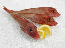 Red Gurnard, Trigla Cuculus, Fishes On Ice With Yellow Lemon