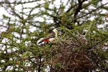 White Headed Buffalo Weaver, Dinemellia Dinemelli, Adult Standing On Acacia Branch, Kenya