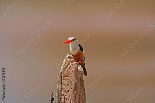 Cuadros en Lienzo Grey Headed Kingfisher, halcyon leucocephala, Adult standing on Branch, Naivasha