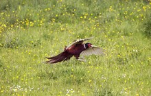 Commmon Pheasant, Phasianus Colchicus, Male Sin Flight, Landing, Normandy