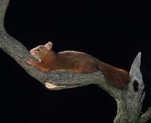 Red Squirrel, Sciurus Vulgaris...