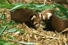 Red Panda, Ailurus Fulgens, Youngs Standing On Bamboo Leaves