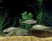 Chub, Alburnoides Bipunctatus, Adults
