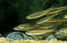 Minnow, Phoxinus Phoxinus, Group Of Adults