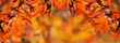 orange autumnal background with leaf of maple tree