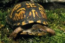 Eastern Box Turtle, Terrapene ...