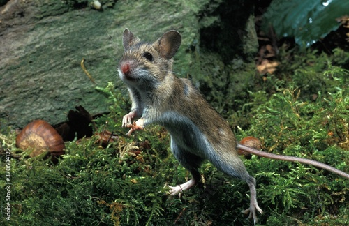 Photo Yellow Necked Mouse, apodemus flavicollis, Adult standing on Hind Legs