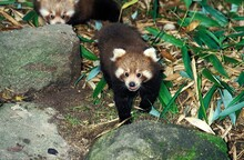 Red Panda, Ailurus Fulgens, Young Standing On Bamboo Dry Leaves