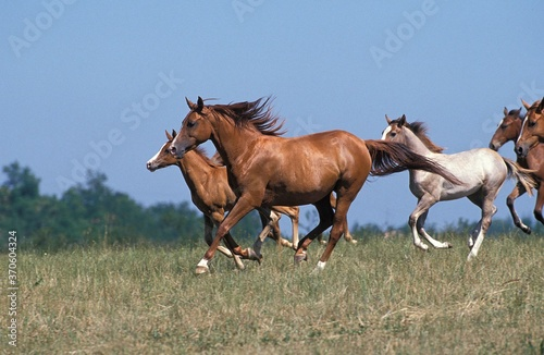 Photo Anglo Arab Horse, Herd Galloping through Meadow