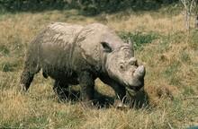 Sumatran Rhinoceros, Dicerorhinus Sumatrensis, Adult Standing On Grass