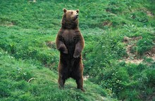 Brown Bear, Ursus Arctos, Adul...