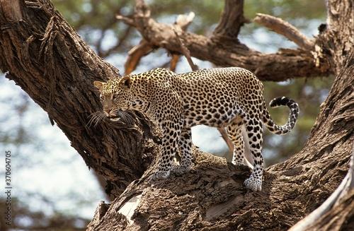 Foto Leopard, panthera pardus, Adult standing in Tree, Nakuru Park in Kenya