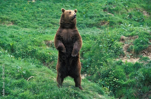 Tablou Canvas Brown Bear, ursus arctos, Adult looking around, Standing on Hind Legs