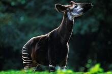 Okapi, Okapia Johnstoni, Adult