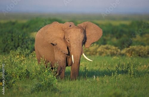 Photo African Elephant, loxodonta africana, Adult in Savannah, Kenya