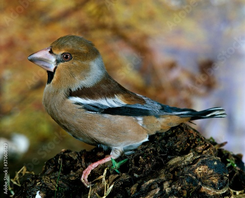 Photo Hawfinch, coccothraustes coccothraustes, Male standing on Branch