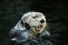 Sea Otter, Enhydra Lutris, Adult Grooming, California
