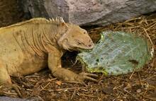 Galapagos Land Iguana, Conolophus Subcristatus, Adult Eating Prickly Pear Cactus, Galapagos Islands