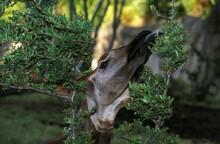 Okapi, Okapia Johnstoni, Portrait Of Adult Eating Leaves