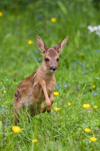 Fotografie, Obraz Roe Deer, capreolus capreolus, Fawn with Flowers, Normandy