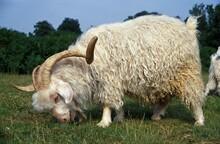 Angora Goat, Breed Producing M...