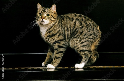Fototapeta Manx Domestic Cat, a Cat Breed withoug Tail, Adult standing on Piano obraz