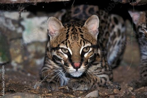 Cuadros en Lienzo Ocelot, leopardus pardalis, Adult