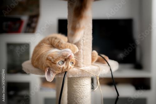 Fototapeta Gato atigrado de color marron y ojos verdes acostado en una torre rascador, inte