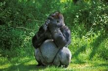Gorilla, Gorilla Gorilla, Silverback Adult Male Standing On Grass, Eating Bark From Branch