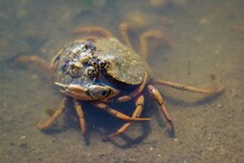 Two Green Shore Crabs Are Wres...
