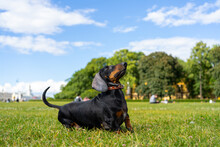 Dachshund Dog In The Park On The Lawn, Waiting For The Toy Wants To Jump