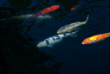 Koi (Cyprinus Carpio ) In Pond