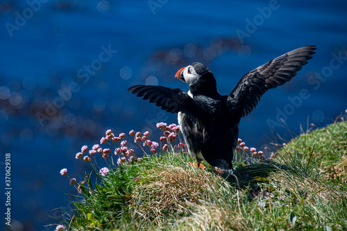 Leinwand Poster Atlantic puffin photographed in Scotland, in Europe