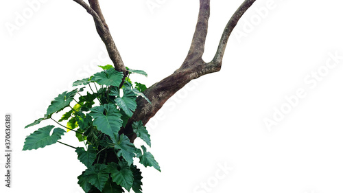 Stampa su Tela Jungle tree trunk with climbing philodendron (Philodendron speciosum) tropical rainforest foliage plant isolated on white background with clipping path